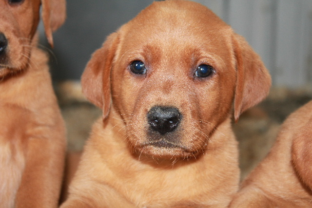 Fox Red Lab Puppy